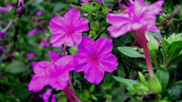 Flowering tobacco (Nicotiana X sanderae) profile