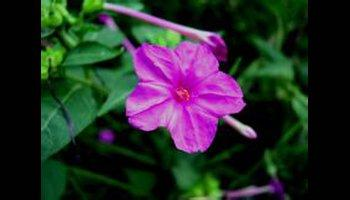 Flowering tobacco care