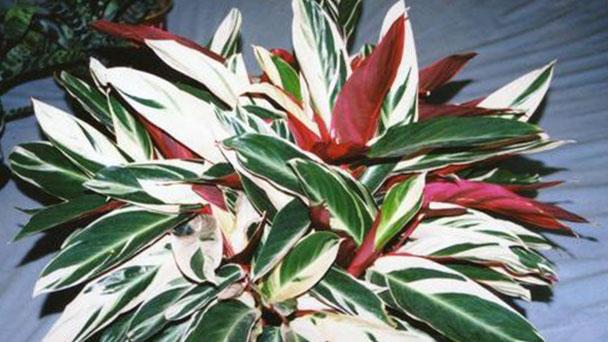Never never plant-Ctenanthe oppenheimiana profile