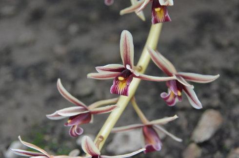Aloe-leafed Cymbidium