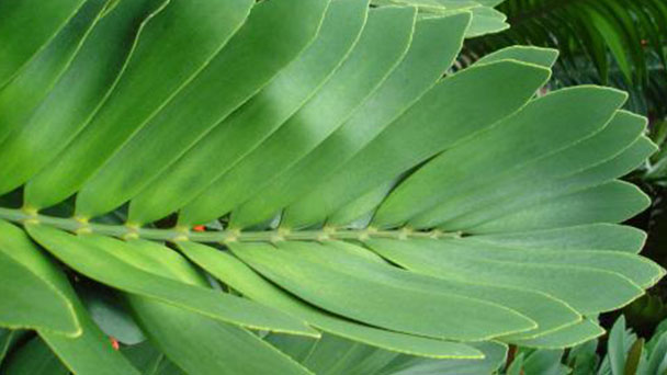 Cardboard palm-how to grow and care for Zamia furfuracea