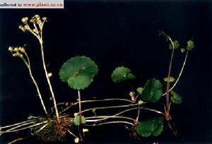 Chrysosplenium Flagelliferum