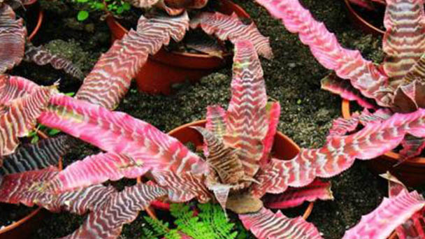 Cryptanthus acaulis profile