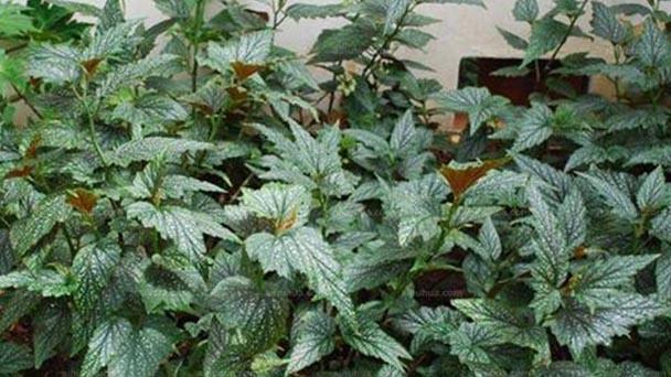 Eyelash Begonia (Begonia bowerae) profile