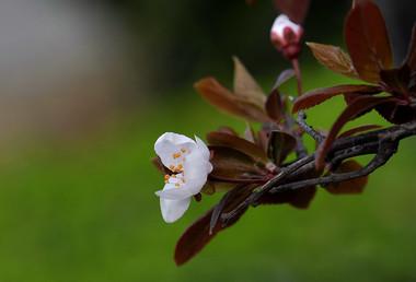 Eyelash Begonia