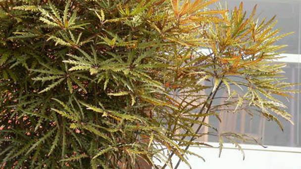 Plerandra elegantissima (False aralia) profile