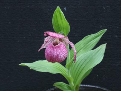 Lady's-slipper picture