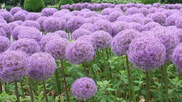Ornamental onion (Allium hollandicum) profile