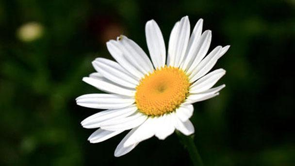 Oxeye daisy (Leucanthemum vulgare) profile