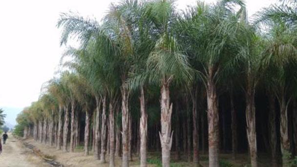 Queen palm (Syagrus romanzoffiana) profile