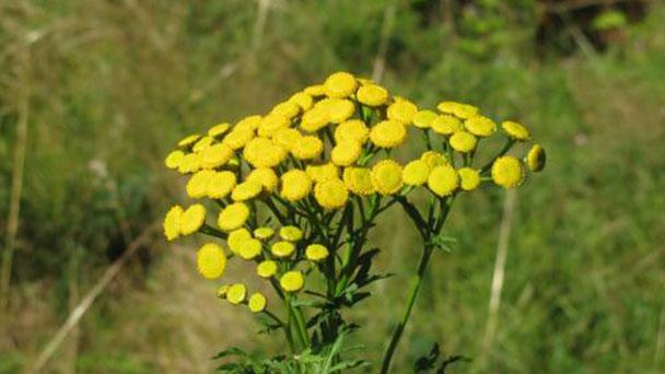 Tansy (Tanacetum vulgare) profile