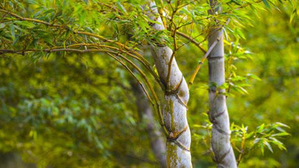 Tortoise-shell bamboo (Phyllostachys edulis) profile