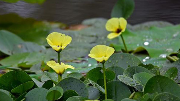 Water poppy (Hydrocleys Nymphoides) profile