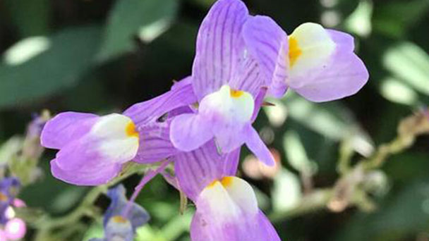 Yellow toadflax (Linaria vulgaris) profile