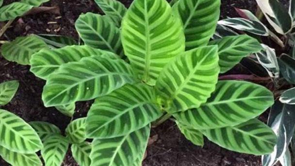 Calathea Zebrina (Zebra Plant) Profile