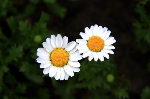 Creeping daisy (Leucanthemum paludosumm) profile