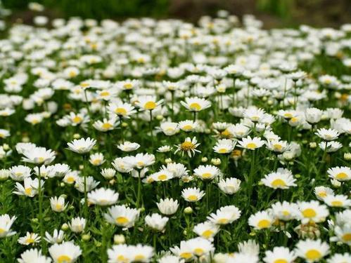 Creeping daisy
