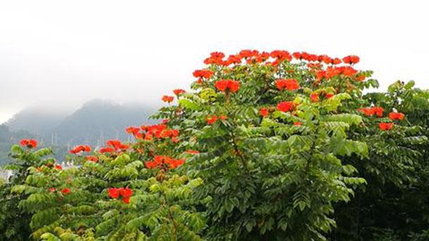 African tulip tree (Spathodea campanulata) profile