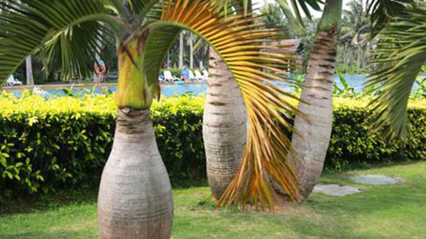Bottle palm (Hyophorbe lagenicaulis) profile