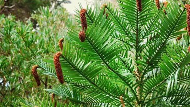 Wollemi pine (Wollemia nobilis) profile