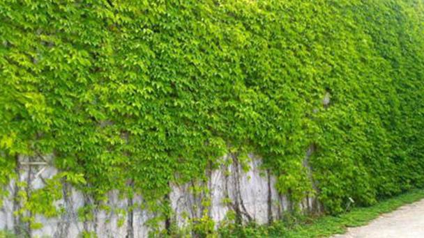 Boston ivy (Parthenocissus tricuspidata) profile