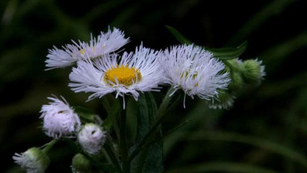 Daisy fleabane (Erigeron annuus) profile