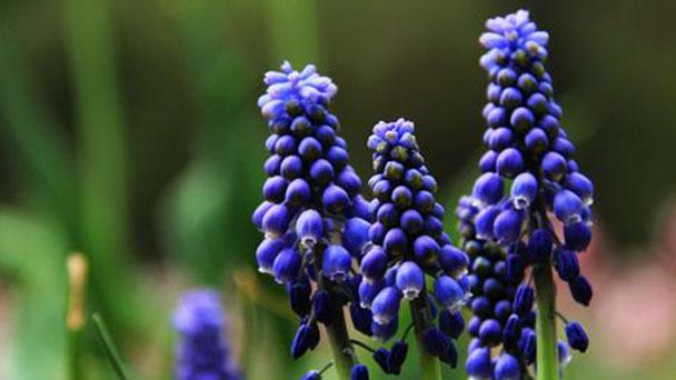 Grape hyacinth (Muscari botryoides) profile
