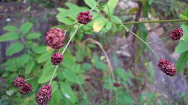 Great burnet (Sanguisorba officinalis) profile