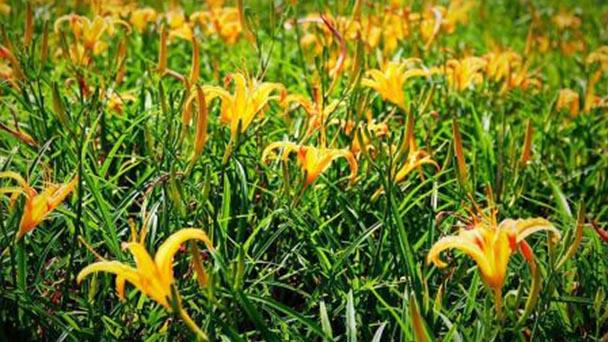 Hemerocallis citrina (citron daylily) profile