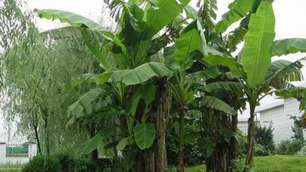 Japanese banana (Musa basjoo) profile