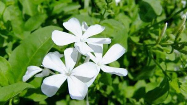 Plumbago zeylanica (wild leadwort) profile