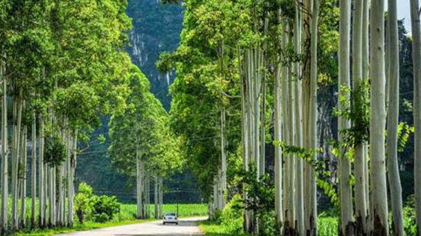 Swamp mahogany (Eucalyptus robusta) profile