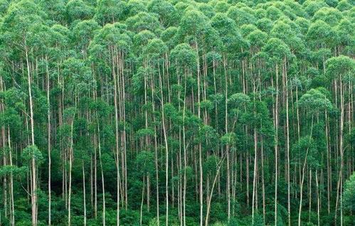 Swamp mahogany