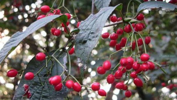 Tea viburnum (Viburnum setigerum) profile