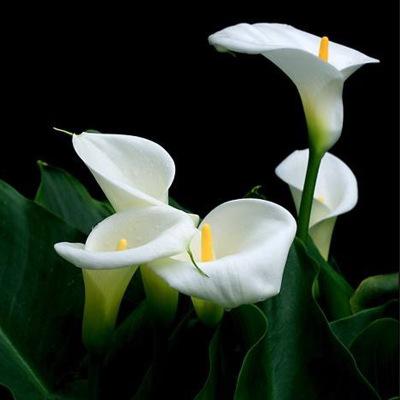 Zantedeschia albo-maculata