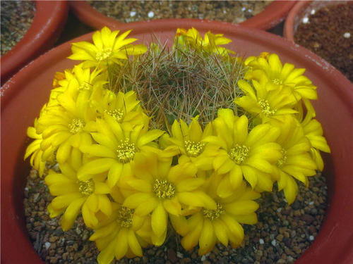 Cuming's crown cactus