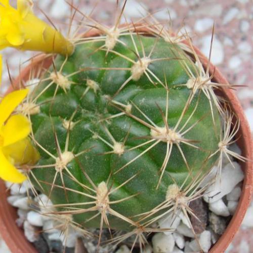 Cumings crown cactus