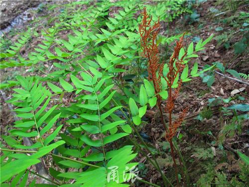 Japanese royal fern