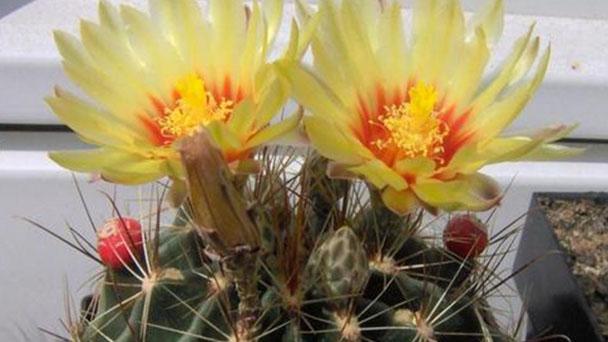 Miniature barrel cactus (Thelocactus setispinus) profile
