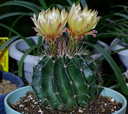 Miniature barrel cactus
