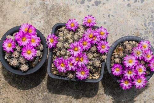 Nellie cory cactus