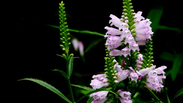 Obedient plant (Physostegia virginiana) profile