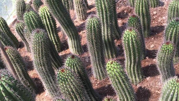 Organ pipe cactus (Stenocereus thurberi) profile