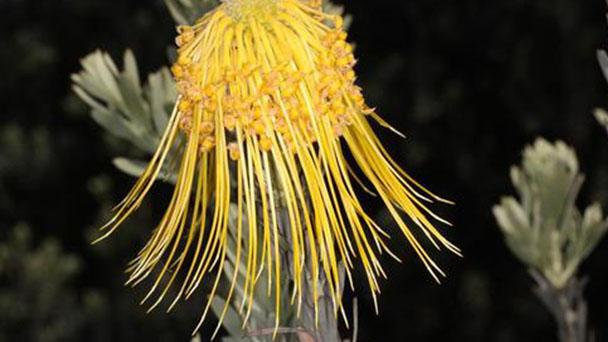 Rocket pincushion (Leucospermum reflexum) profile