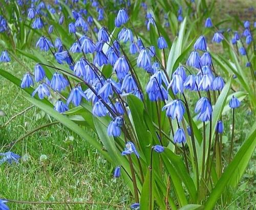Siberian squill
