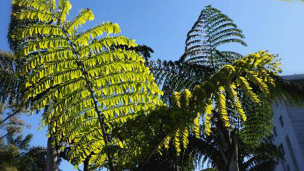 Fishtail palm (Caryota urens) profile