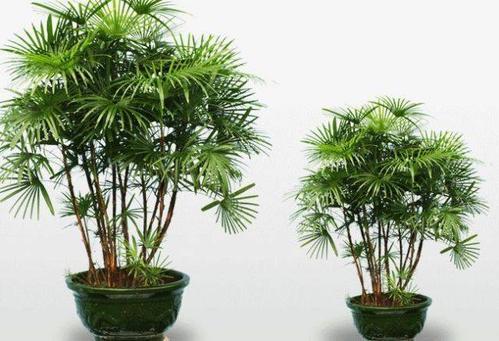 Best Indoor Tree - Lady Palm