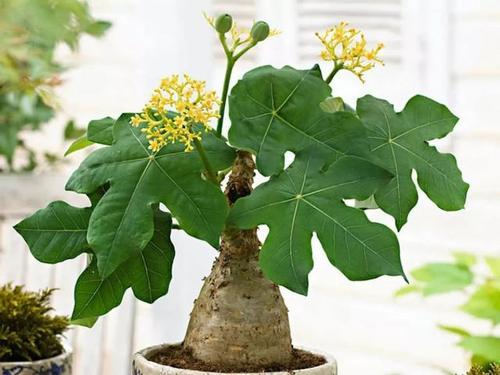 Buddha belly plants