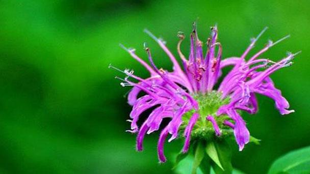 Monarda didyma (Scarlet beebalm) profile