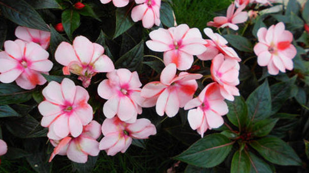 New Guinea impatiens (Impatiens hawkeri) profile